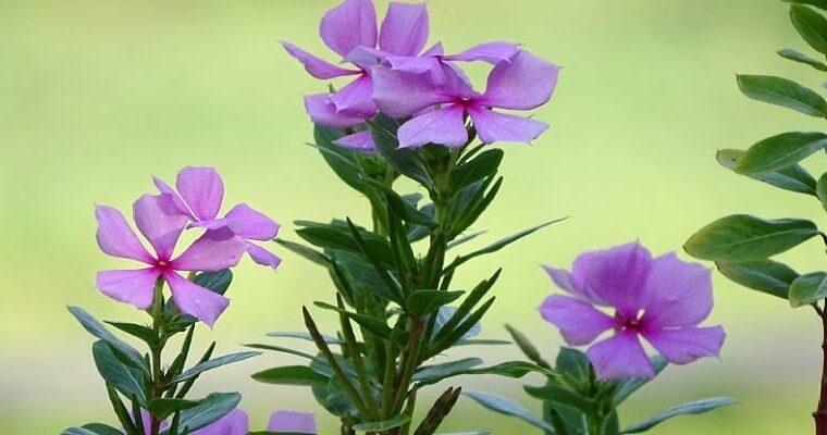 daun tapak dara, herbal untuk kanker